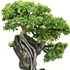 chinese elm bonsai70x70 Bonsai Tree Catalog