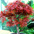 japanese maple bonsai70x70 Bonsai Tree Catalog