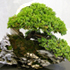 juniper bonsai70x70 Bonsai Tree Catalog
