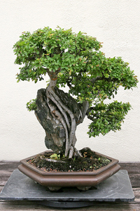 chinese elm bonsai2 Chinese Elm Bonsai Tree
