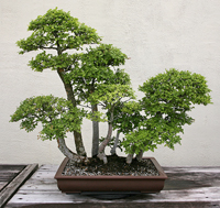 chinese elm bonsai3 Chinese Elm Bonsai Tree