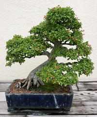 chinese elm bonsai4 Chinese Elm Bonsai Tree