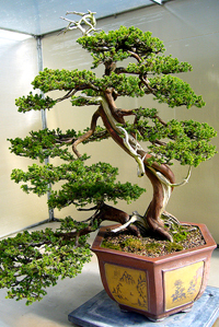 juniper bonsai1 Juniper Bonsai Tree