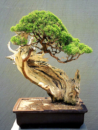 juniper bonsai2 Juniper Bonsai Tree