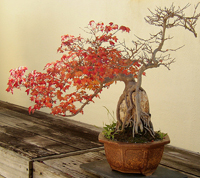 trident maple bonsai1 Trident Maple Bonsai Tree