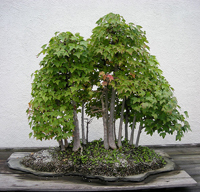 trident maple bonsai3 Trident Maple Bonsai Tree