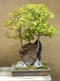 trident maple bonsai5 Trident Maple Bonsai Tree