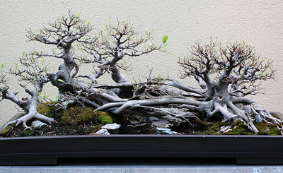 chinese bonsai3 Chinese Art Of Bonsai   Penjing