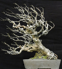 chinese bonsai7 Chinese Art Of Bonsai   Penjing
