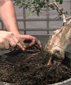 bonsai repotting Bonsai Tree Repotting Step by Step