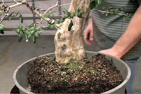 bonsai repotting0 Bonsai Tree Repotting Step by Step