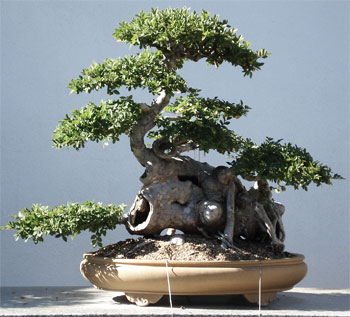 penjing1 Chinese Art Of Bonsai   Penjing