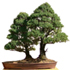 alberta spruce bonsai 70x70 Bonsai Tree Catalog