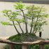 bald cypress bonsai 70x70 Bonsai Tree Catalog