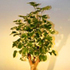 balfour aralia bonsai 70x70 Bonsai Tree Catalog