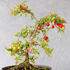 barbados cherry bonsai 70x70 Bonsai Tree Catalog