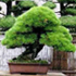 black pine bonsai 70x70 Bonsai Tree Catalog