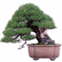 blue spruce bonsai 70x70 Bonsai Tree Catalog