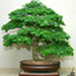 brazilian raintree bonsai 70x70 Bonsai Tree Catalog