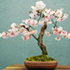 brush cherry bonsai 70x70 Bonsai Tree Catalog