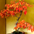 burning bush bonsai 70x70 Bonsai Tree Catalog