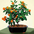 calamondin orange bonsai 70x70 Bonsai Tree Catalog