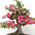 camellia bonsai 70x70 Bonsai Tree Catalog