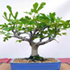 common fig bonsai 70x70 Bonsai Tree Catalog