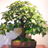common pear bonsai 70x70 Bonsai Tree Catalog