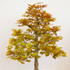copper beech bonsai 70x70 Bonsai Tree Catalog