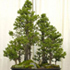 dawn redwood bonsai 70x70 Bonsai Tree Catalog