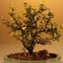 dwarf jasmine bonsai 70x70 Bonsai Tree Catalog