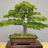 dwarf olive bonsai 70x70 Bonsai Tree Catalog
