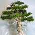 eastern white cedar bonsai 70x70 Bonsai Tree Catalog
