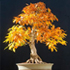 european beech bonsai 70x70 Bonsai Tree Catalog