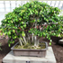 ficus bonsai tree 70x70 Bonsai Tree Catalog