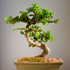 fukien tea bonsai 70x70 Bonsai Tree Catalog