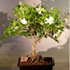 gardenia bonsai tree 70x70 Bonsai Tree Catalog