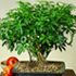 hawaiian umbrella bonsai 70x70 Bonsai Tree Catalog