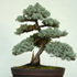 italian cypress bonsai 70x701 Bonsai Tree Catalog