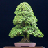 jade bonsai tree 70x70 Bonsai Tree Catalog