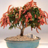 japanese andromeda bonsai 70x701 Bonsai Tree Catalog