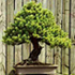 japanese larch bonsai 70x70 Bonsai Tree Catalog