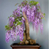 japanese wisteria bonsai 70x70 Bonsai Tree Catalog