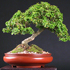 kingsville boxwood  70x70 Bonsai Tree Catalog