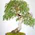 white birch bonsai 70x70 Bonsai Tree Catalog
