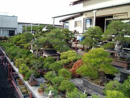 bonsai nursery Where To Buy Bonsai Tree