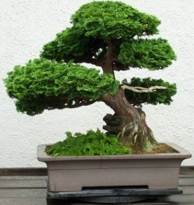 chinese bonsai 283x300 How to Choose a Bonsai Tree