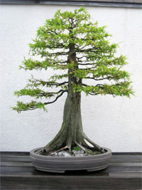 bald cypress1 Bald Cypress Bonsai Tree