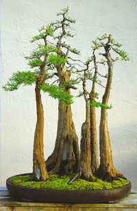 bald cypress bonsai1 Bald Cypress Bonsai Tree